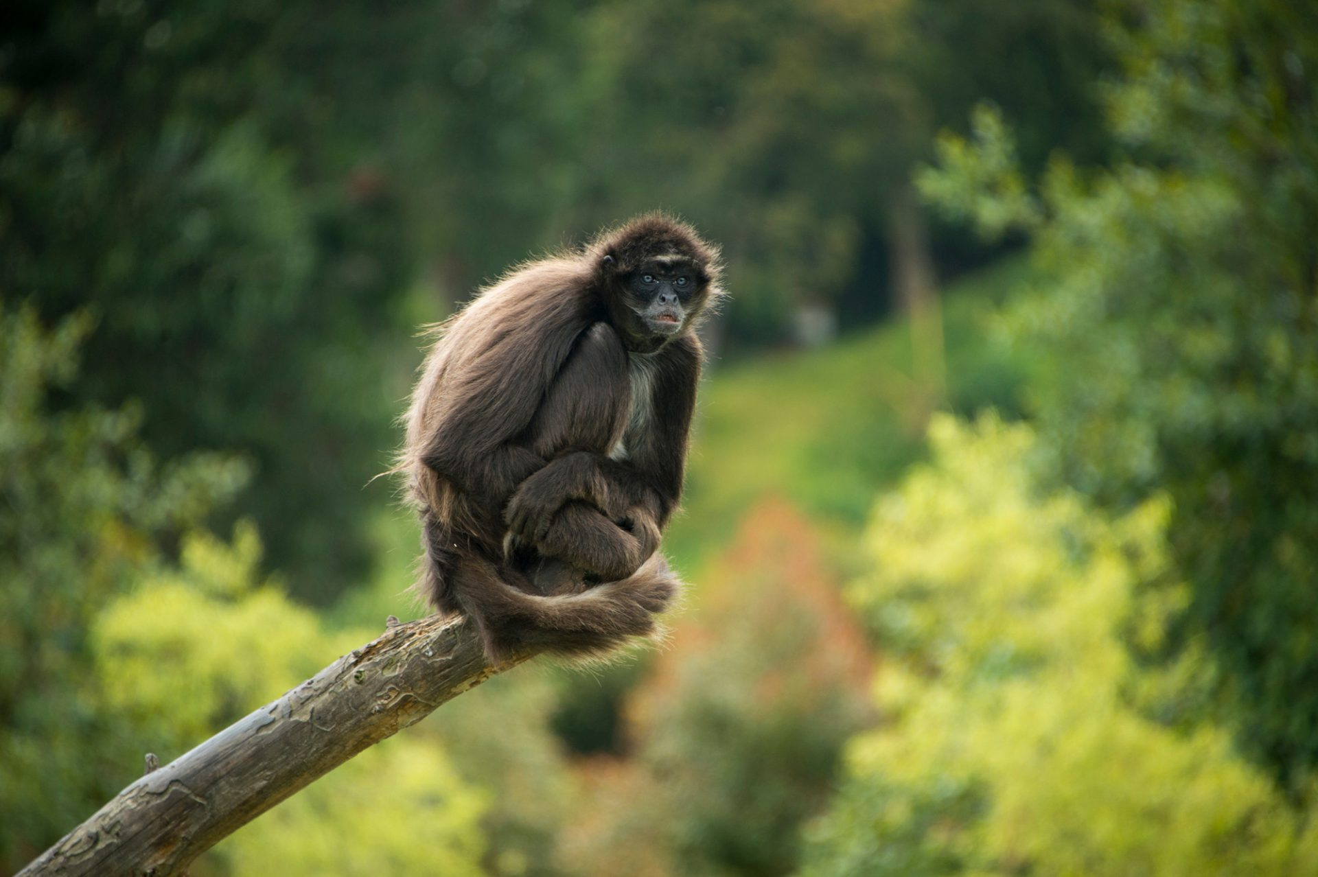 Picture of a critically endangered brown spider monkey, Ateles hybridus, at Parque Jaime Duque in Colombia.