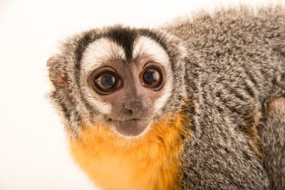 Photo: A three striped night monkey (Aotus trivirgatus) at the Faunia zoo in Madrid, Spain.