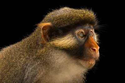 Photo: A vulnerable red eared guenon (Cercopithecus erythrotis) at Limbe Wildlife Center, a rescue and rehab center for wildlife in Limbe, Cameroon.
