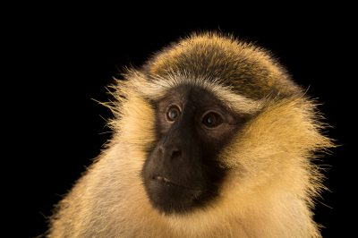 Photo: A tantalus monkey (Chlorocebus aethiops tantalus) at Limbe Wildlife Center, a rescue and rehab center for wildlife in Limbe, Cameroon.