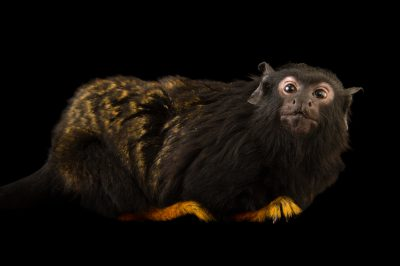 Photo: A female golden-handed tamarin (Ceguinus midas) at the Miller Park Zoo in Bloomington, IL.
