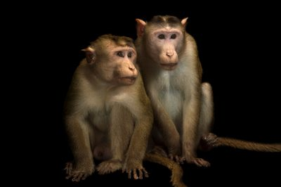 Picture of bonnet macaques (Macaca radiata) at Kamla Nehru Zoological Garden, Ahmedabad, India.