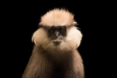 Photo: Western purple-faced langur (Trachypithecus velustus nestor) at the Singapore Zoo.