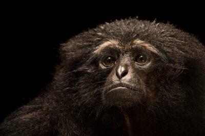 Photo: Agile gibbon (Hylobates agilis) at the Singapore Zoo.