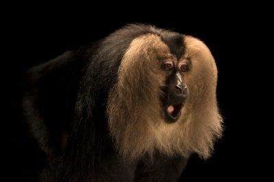 Picture of an endangered (IUCN) and federally endangered lion tailed macaque (Macaca silenus) at Singapore Zoo.