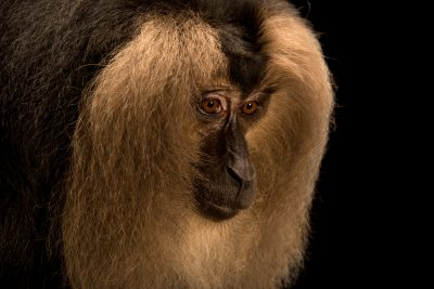 Picture of an endangered (IUCN) and federally endangered lion tailed macaque, Macaca silenus, at Singapore Zoo.
