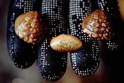 Photo: Endangered freshwater mussels in the hands of biologists onthe Clinch River in Kentucky.