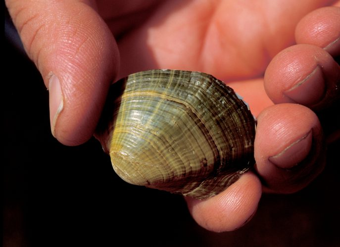 Photo: Birdwing pearlymussel in the hands of a biologist.