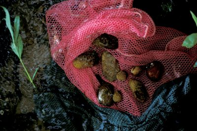 Photo: Freshwater mussels collected by biologists from the Clinch River in Tennessee.