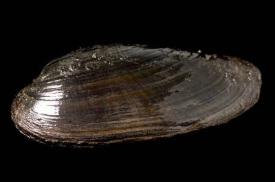 Photo: A black sandshell mussel (Lugimia recta), one of 44 species of freshwater mussels still found in the upper Mississippi River near Prairie du Chien, WI.