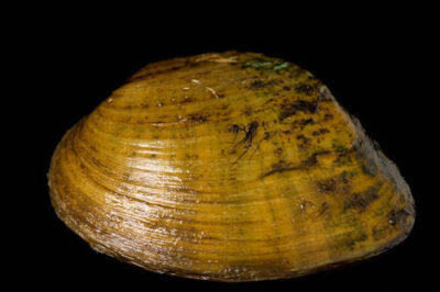 A butterfly mussel (Ellipsaria lineolata) at the Genoa National Fish Hatchery. This is one of 44 species of freshwater mussels still found in the upper Mississippi River near Prairie du Chien, WI.
