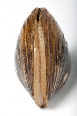 A plain pocketbook mussel (Lampsilis cardium) displays a fish-like lure used to attract fish hosts for its young. This is one of 44 species of freshwater mussels still found in the upper Mississippi River near Prairie du Chien, WI.