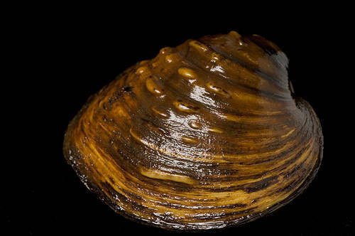 A pimpleback mussel (Quadrula pustulosa) at the Genoa National Fish Hatchery. This is one of 44 species of freshwater mussels still found in the upper Mississippi River near Prairie du Chien, WI.