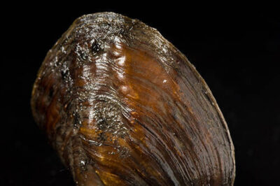 A threeridge mussel (Amblema plicata) at the Genoa National Fish Hatchery. This is one of 44 species of freshwater mussels still found in the upper Mississippi River near Prairie du Chien, WI.