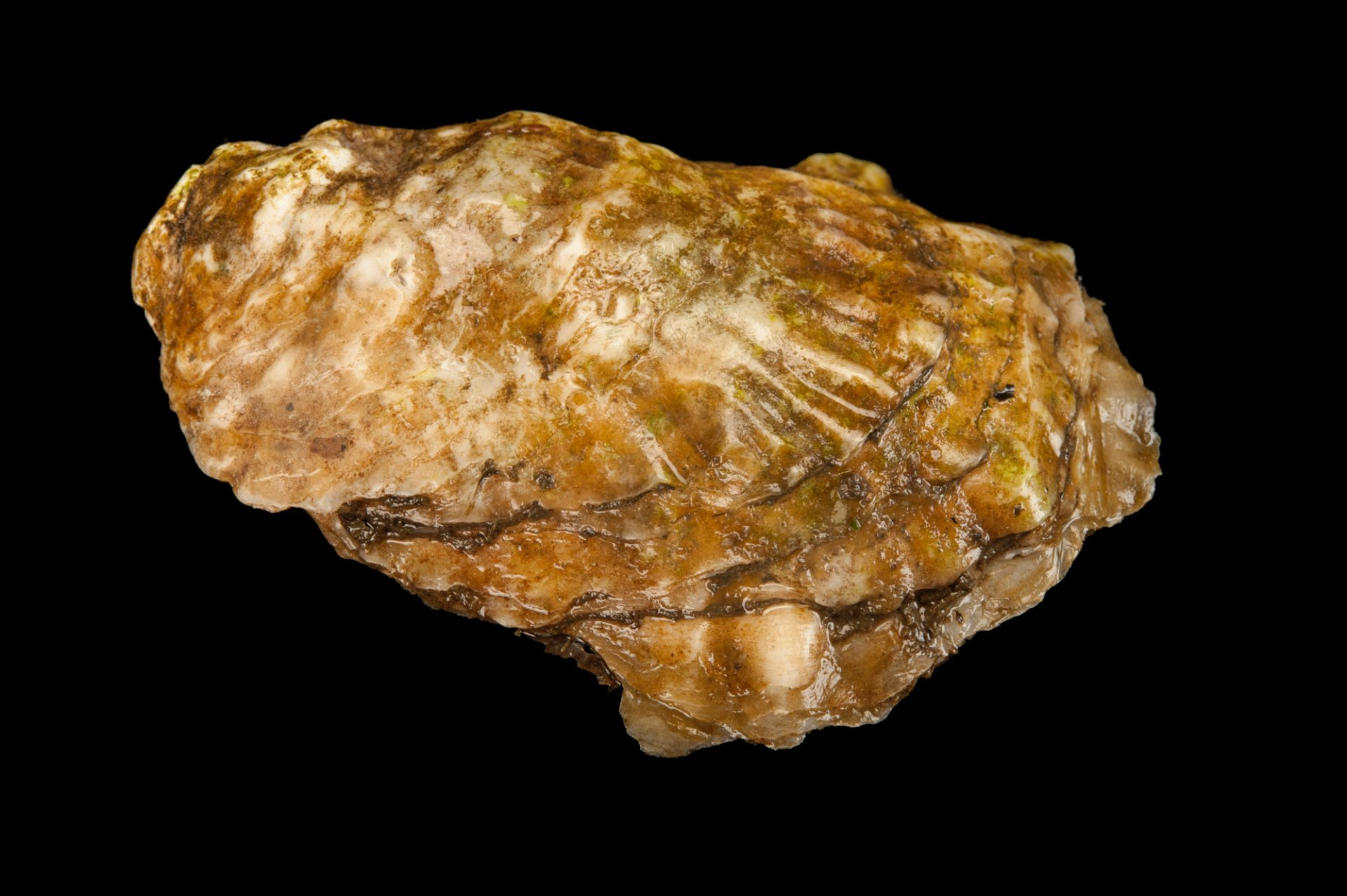 North American oyster, Crassostrea virginica, at the Sedge Island Natural Resource Education Center in the Sedge Islands Marine Conservation Zone, Barnegat Bay, New Jersey.