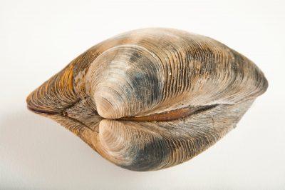 Quahog or hard clam, Mercenaria mercenaria, at the Sedge Island Natural Resource Education Center in the Sedge Islands Marine Conservation Zone, Barnegat Bay, New Jersey.