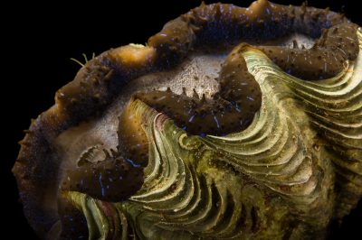 Picture of a small giant clam (Tridacna maxima) at the Columbus Zoo.