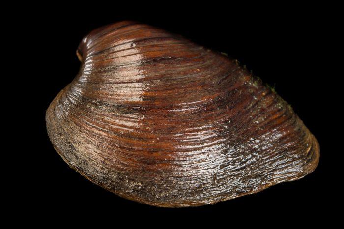 Picture of an Ohio pigtoe mussel (Pleurobema cordatum) at the Columbus Zoo.