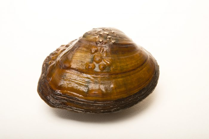 Picture of a Mapleleaf mussel (Quadrula quadrula) at the Columbus Zoo.
