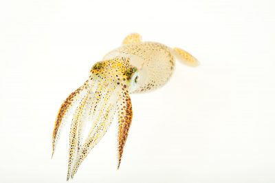 Picture of an Atlantic brief squid (Lolliguncula brevis) at Gulf Specimen Marine Lab and Aquarium.