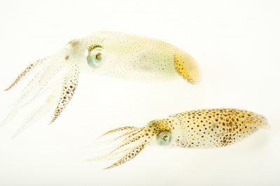 Picture of Atlantic brief squids (Lolliguncula brevis) at Gulf Specimen Marine Lab and Aquarium.