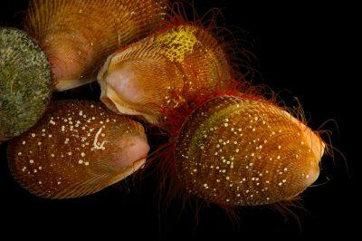 Photo: Rough scallops (Aequipecten muscosus) at Gulf Specimen Marine Lab and Aquarium.