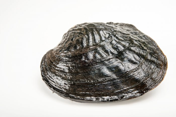 Picture of a washboard mussel (Megalonaias nervosa) collected from the Ochlockonee River near Tallahassee, Florida.