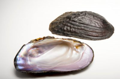 Picture of shells of a vulnerable (IUCN) and federally threatened purple bankclimber (Elliptoideus sloatianus) collected from the Apalachicola River near Chattahoochee, Florida.