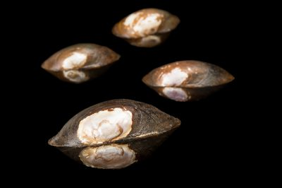 Picture of round pearlshells (Glebula rotundata) collected from the Chipola River near Wewahitchka, Florida.