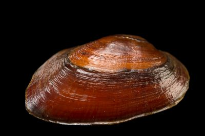 Picture of an endangered (IUCN), federally threatened chipola slabshell (Elliptio chipolaensis) collected from the Chipola River near Wewahitchka, Florida.