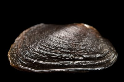 Picture of an apalachicola pondhorn (Uniomerus columbensis) collected from the Suwannee River in Florida.