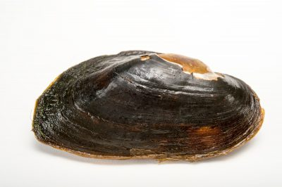 Picture of a critically endangered recovery pearly mussel (Elliptio nigella) collected from the Flint River near Newton, Georgia.