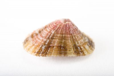 Picture of a rough keyhole limpet (Diodora aspera) at Pure Aquariums from the Gulf Specimen Marine Lab.