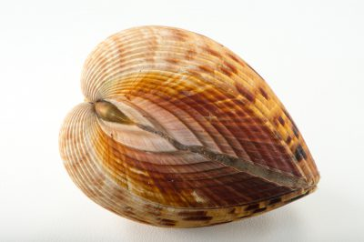 Picture of an Atlantic giant cockle (Dinocardium robustum) at Pure Aquariums from the Gulf Specimen Marine Lab.