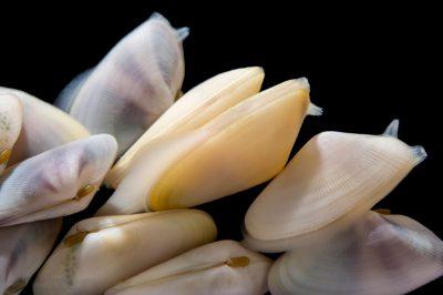 Picture of coquinas (Donax variabilis) at Pure Aquariums from the Gulf Specimen Marine Lab.