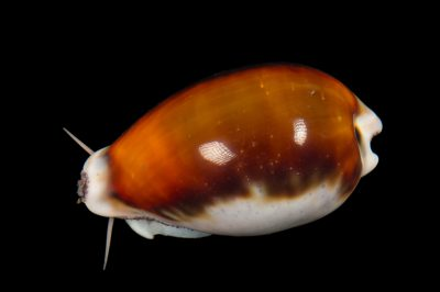 Picture of a chestnut cowrie (Neobernaya spadicea) at the REEF, at the University of California, Santa Barbara.