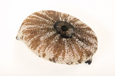 Picture of a giant keyhole limpet (Megathura crenulata) at the REEF, at the University of California, Santa Barbara.