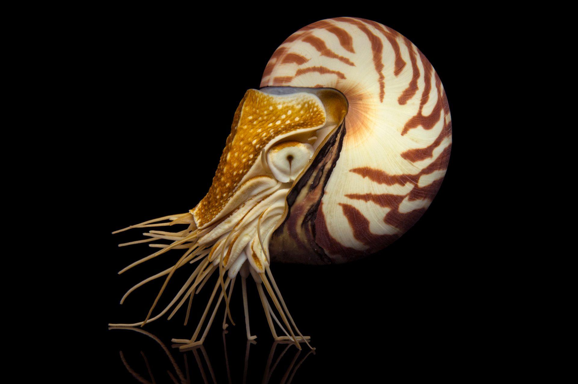 Picture of a nautilus (Nautilus pompilius) at the Monterey Bay Aquarium.