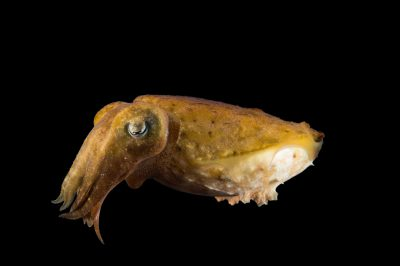 Picture of a stumpy cuttlefish (Sepia bandensis) at the Monterey Bay Aquarium.