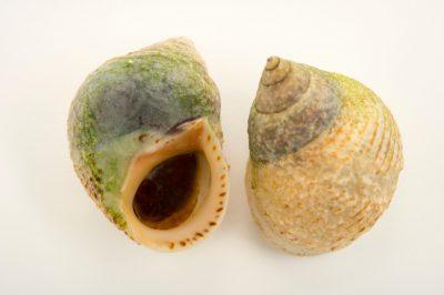 Picture of periwinkle snails (Littorina littorea) at the Virginia Aquarium.