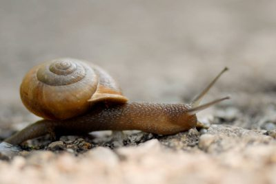 Photo: A snail on a gravel path at the Sunset Zoo in Manhattan, Kansas.