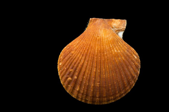 Photo: A Pacific pink scallop (Chlamys rubida) at the Alaska SeaLife Center.