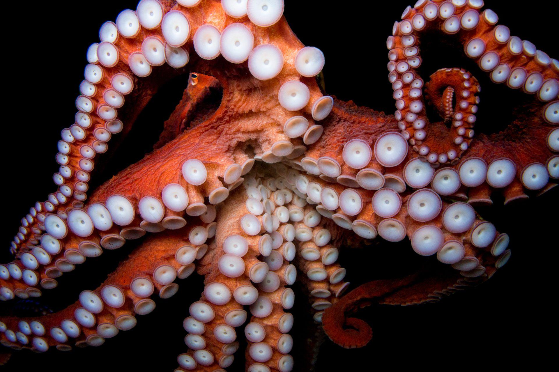 Picture of a giant pacific octopus (Enteroctopus dofleini) at the Dallas World Aquarium.
