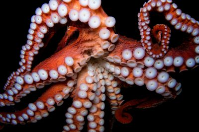 Picture of a giant pacific octopus (Enteroctopus dofleini) at the Dallas World Aquarium.