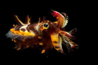 Picture of a Pfeffer's flamboyant cuttlefish (Metasepia pfefferi) at the Dallas World Aquarium.
