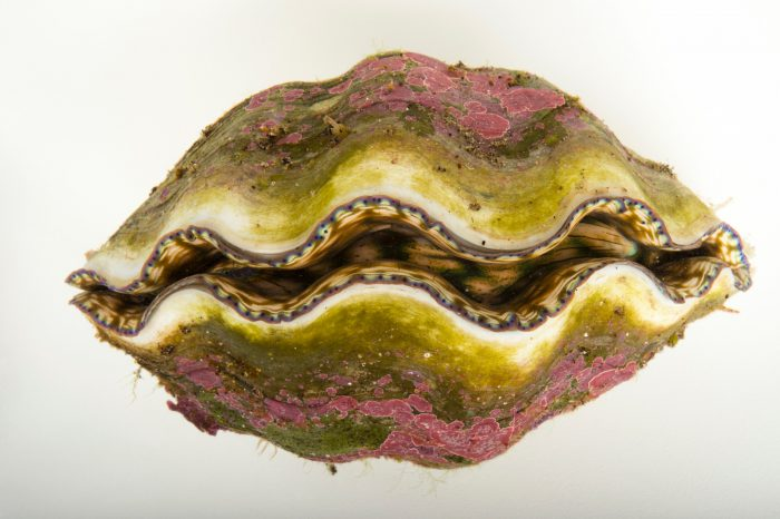Picture of a vulnerable Southern giant clam (Tridacna derasa) at Omaha's Henry Doorly Zoo and Aquarium.