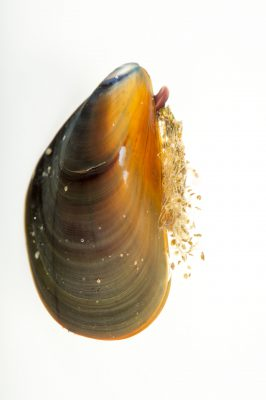 Photo: Pacific blue mussel (mytilus trossulus) at the Alaska SeaLife Center.