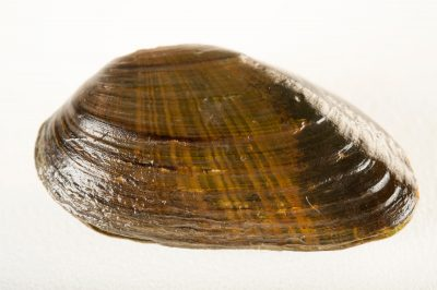 Photo: The rayed bean mussel (Villosa fabalis), a federally endangered species at the freshwater mussel lab at the Columbus Zoo.