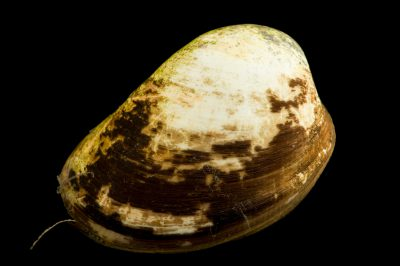 Photo: A common egg cockle (Laevicardium laevigatum) at Gulf Specimen Marine Lab.