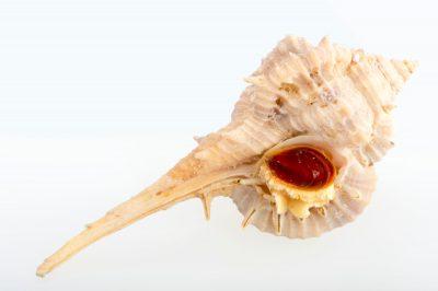 Photo: A Cabrit's murex (Murex cabritii) at Gulf Specimen Marine Lab.